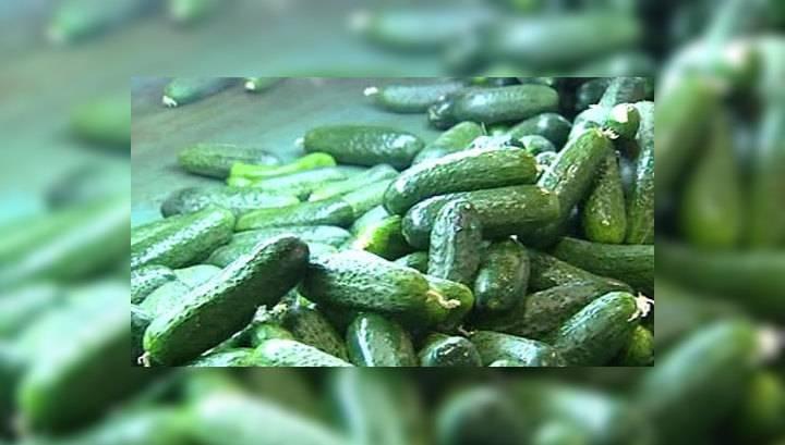 Огурцы луховицкие: описание, выращивание, отзывы