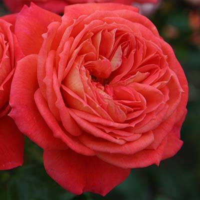 О розе квин оф свиден (queen of sweden): описание и характеристики