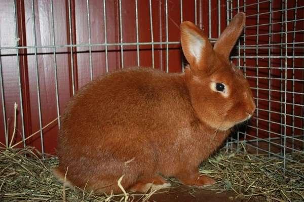 Как определить пол кролика?