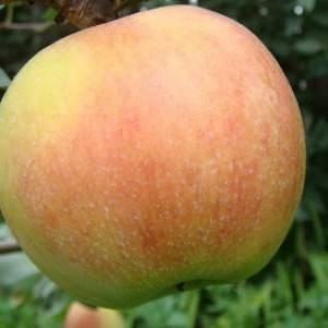 Особенности посадки яблони сорта россиянка и ухода за ней