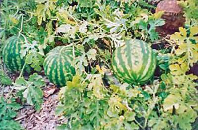 Как вырастить арбуз в теплице - советы для хорошего урожая | красивый дом и сад