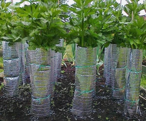 Выращивание сельдерея черешкового из семян - подробная информация