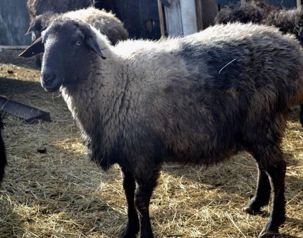 Овцы эдильбай: характеристика эдильбаевской породы