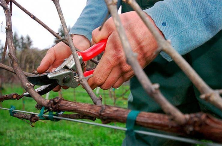 Омоложение старого куста винограда