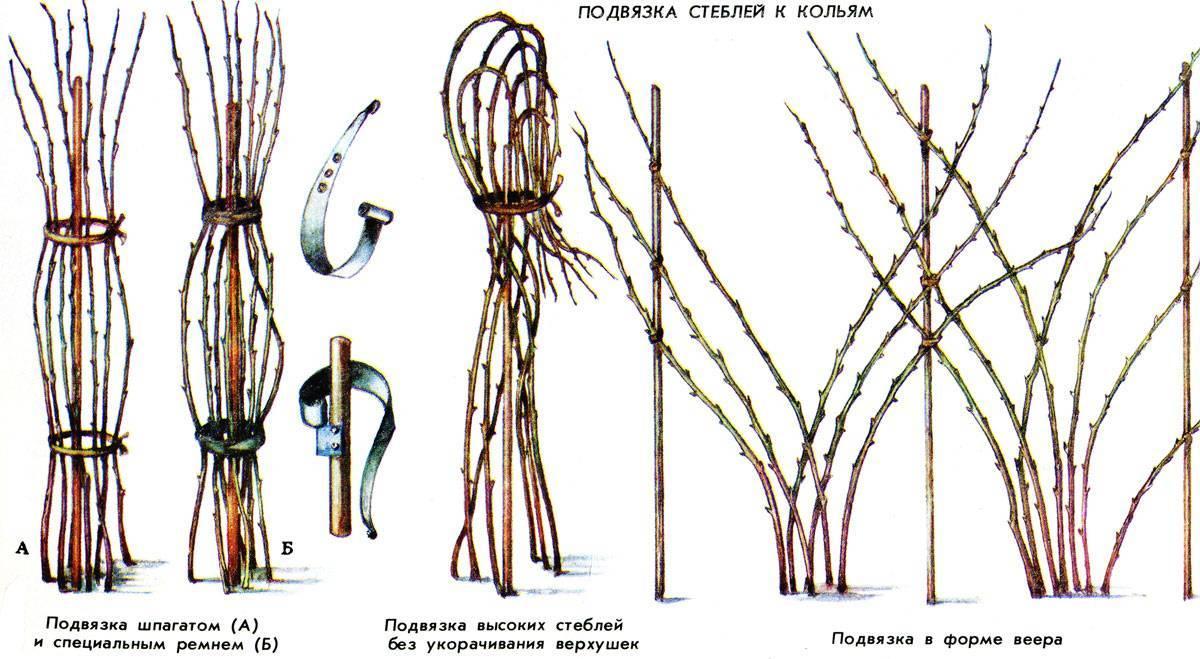 Когда и как обрезать малину – важные советы садоводам