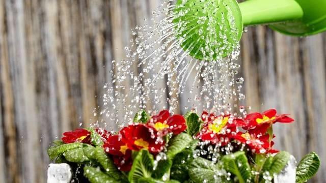 Варианты сколько раз и как часто необходимо поливать алоэ, примеры летом и зимой