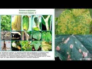 Основные болезни огурцов – фото, описания и способы лечения