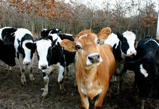 Особенности джерсейской породы коров