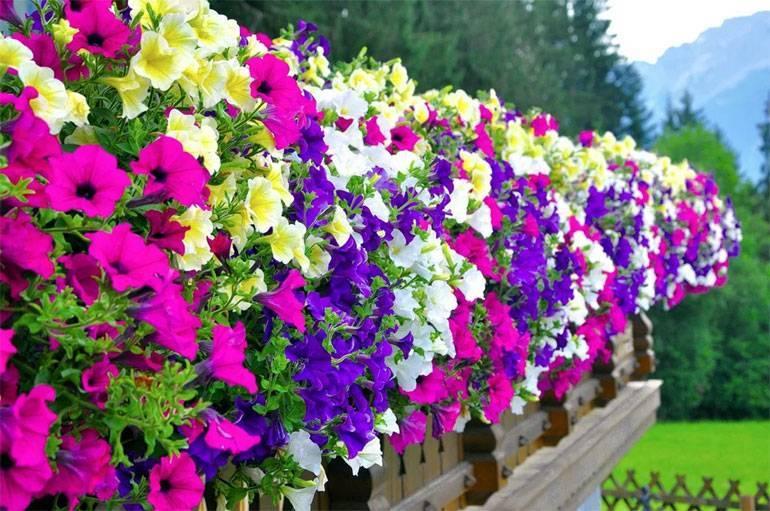 Описание и фото разновидностей вегетативной петунии. правила ухода за цветком летом и зимой