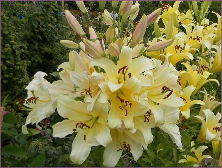 Посадка лилий в открытый грунт весной