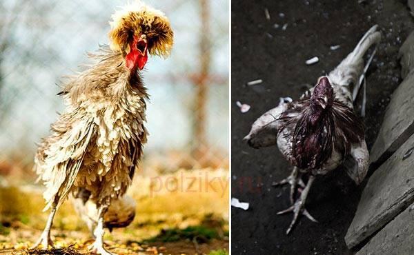 Что делать, если цыплята клюют друг друга до крови - общая информация - 2020