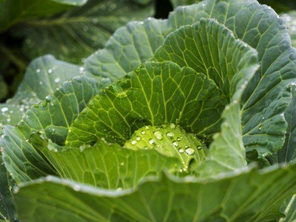 Как поливать капусту после окучивания. от периода развития