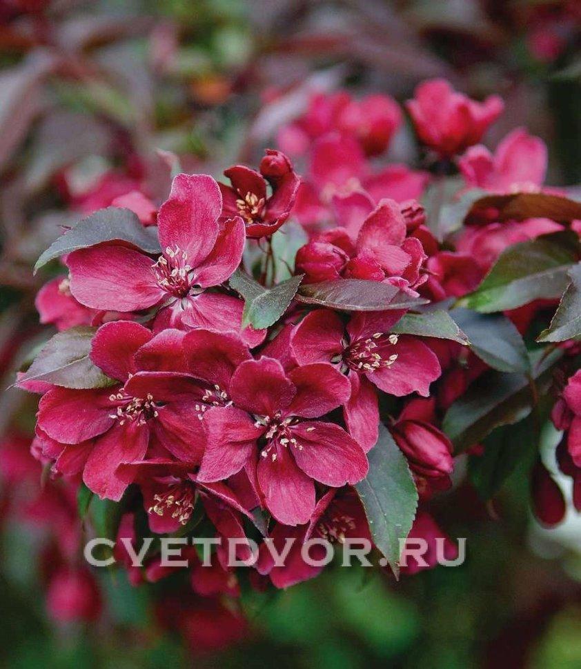 Яблоня декоративная роялти: описание, фото, отзывы