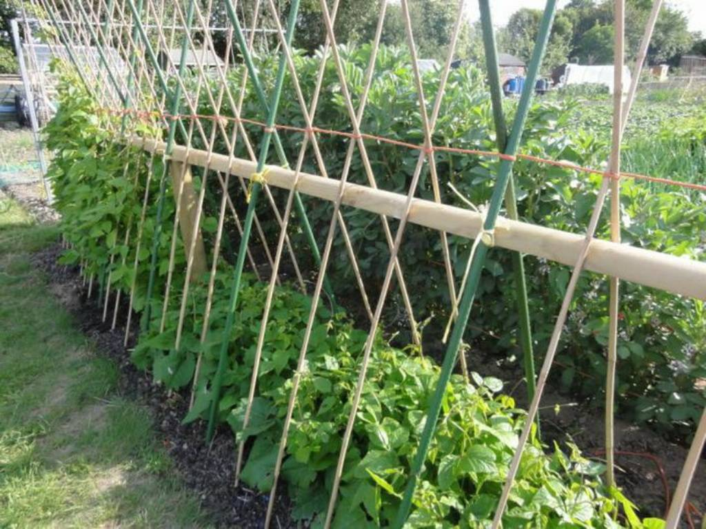 Не только сидерат – как и зачем выращивать черные бобы?