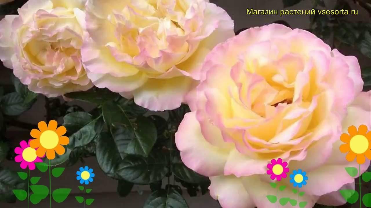 Роза чайно-гибридная глория дей — отзывы. негативные, нейтральные и положительные отзывы