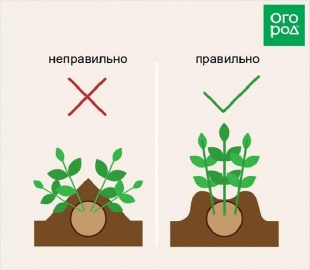 Как и когда правильно окучивать картофель: сроки, правила, пошаговая инструкция