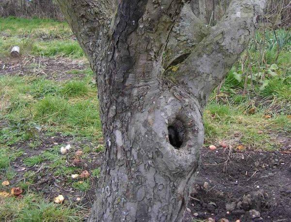 Чем заделать дупло в стволе яблоне