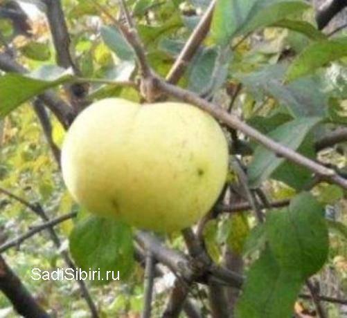 Интенсивные яблоневые сады