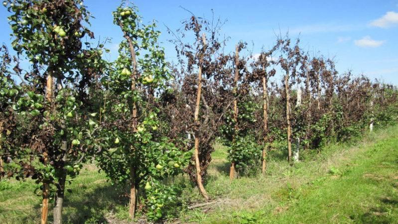 """Почему """"сгорают"""" деревья: бактериальный ожог плодовых обнаружен в 10 регионах россии"""
