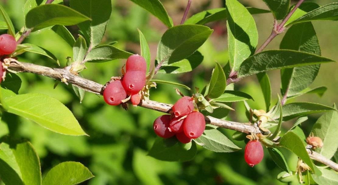 Жимолость: посадка и уход. первая ягода лета. выращивание жимолости съедобной на даче