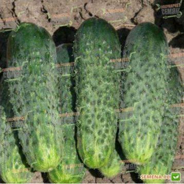 Агрофирма поиск представила 10 своих лучших гибридов огурца