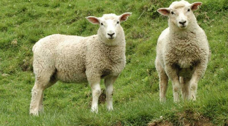 Выращивание овец без выгула в домашних условиях