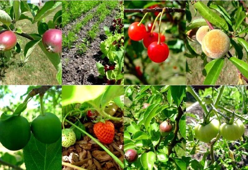 Посадка плодовых деревьев и кустарников на садовом участке