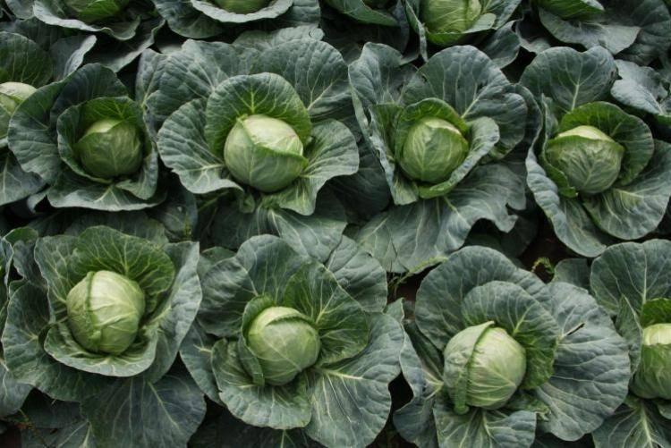 Почему нельзя сажать на одной грядке цветную и белокочанную капусту