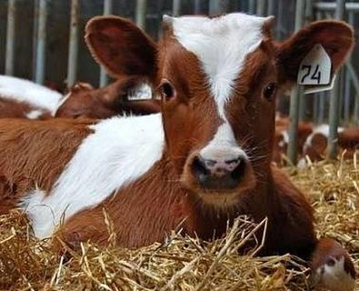 Лейкоз у коровы: можно ли пить молоко?