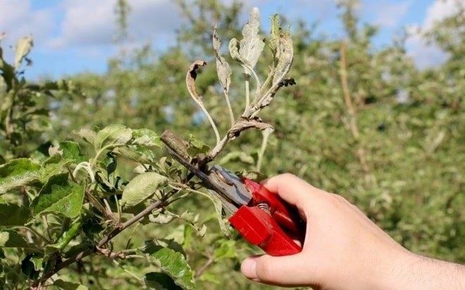 Как размножается яблоня