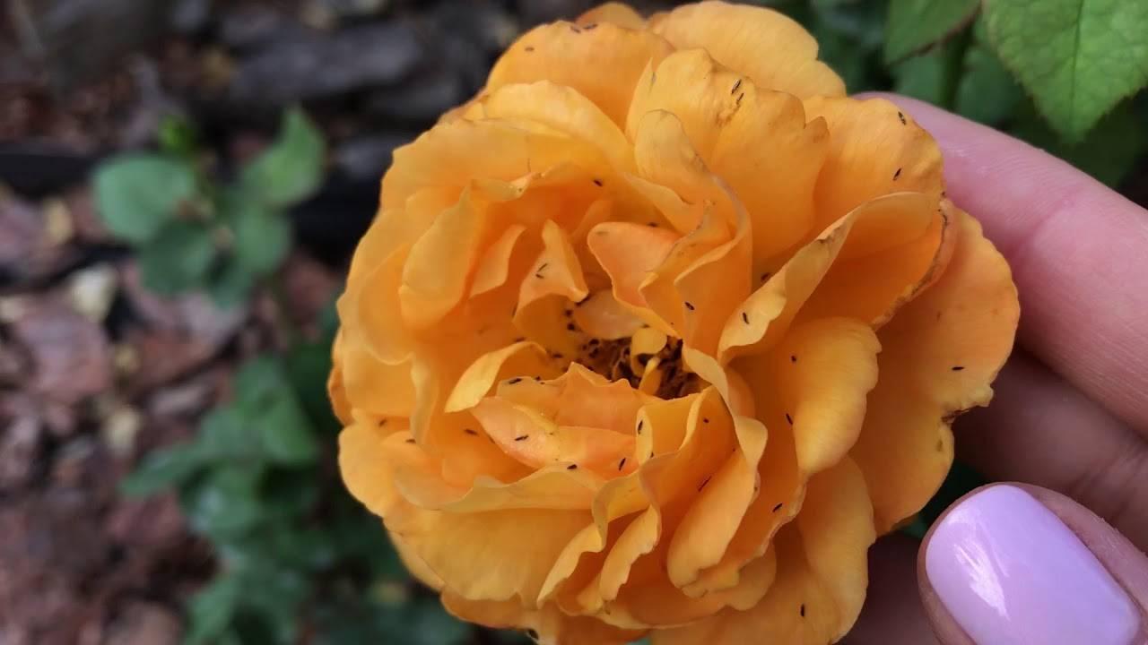 О борьбе с трипсами на розах: что делать, чем обработать, чтобы избавиться