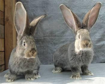 Характеристика кроликов породы бельгийский великан (фландр)