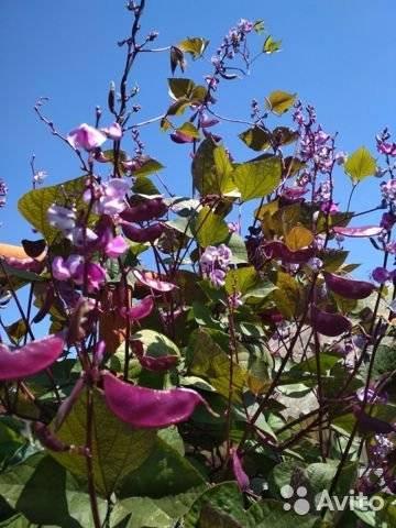 Посадка и уход за вьющейся декоративной фасолью. супер растение для всех!!