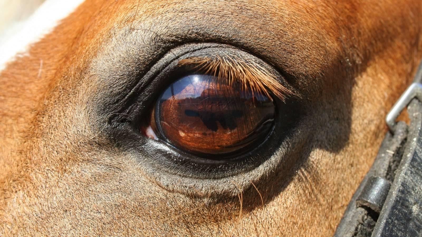 Глаза лошадей: поясняем по порядку