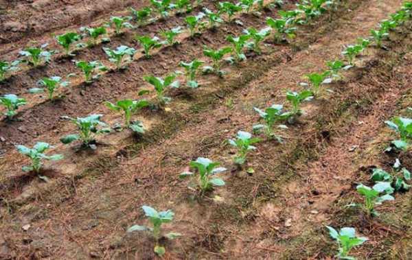 Как выращивать брокколи на огороде: сроки посадки и особенности ухода