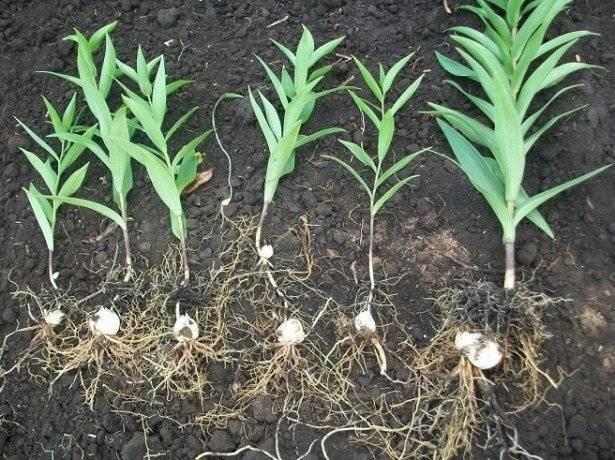 Лилии - выращивание и уход весной в открытом грунте