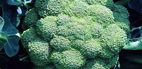 Брокколи - выращивание и уход в открытом грунте, простые правила хорошего урожая