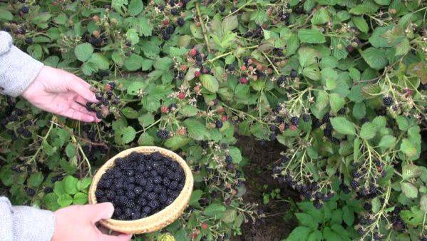 Стелющиеся сорта ежевики садовой: характеристика и выращивание