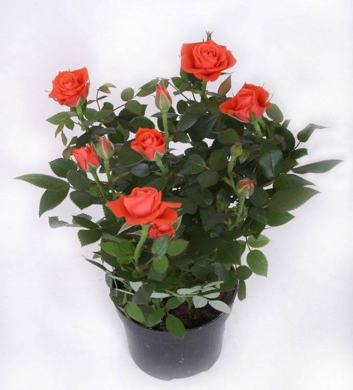 Как обрезать комнатную розу в горшке: нужна ли процедура после цветения и зимой, когда это правильно делать, чем обработать в домашних условиях, как укрыть растение?