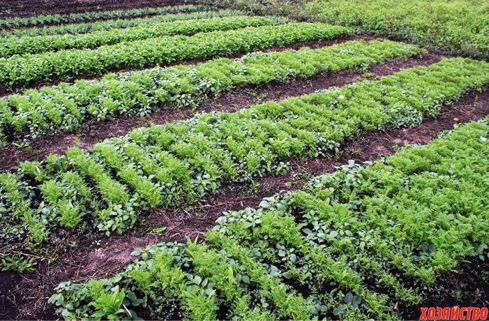 Растения сидераты: когда сеять и закапывать, выбор лучших для огорода