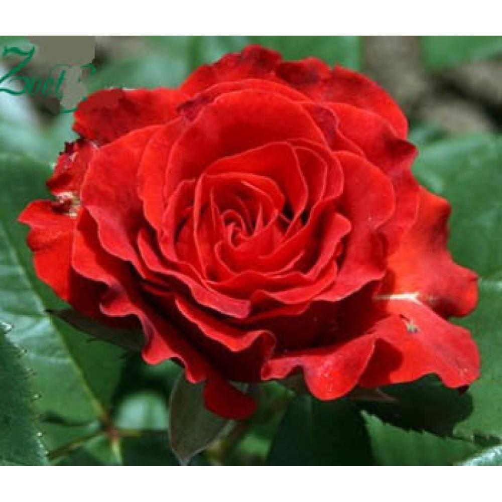 Роза эль энциклопедия роз. el toro (эль торо)