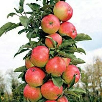 О яблоне колоновидной васюган, описание сорта, характеристики, агротехника