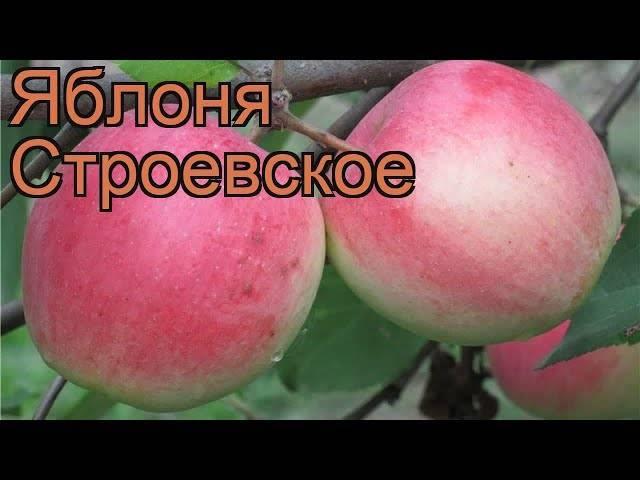 Особенности выращивания и ухода за яблоней строевское