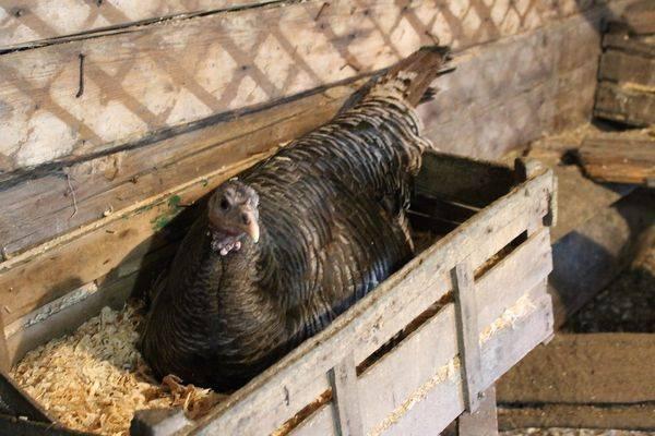 Когда начинают нестись домашние индюшки – возраст и яйценоскость, а также когда и как правильно помещать птиц в гнездо