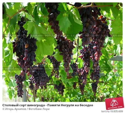 Виноград памяти негруля