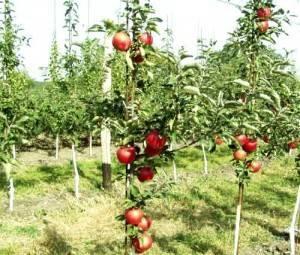 Как размножить яблоню черенками осенью