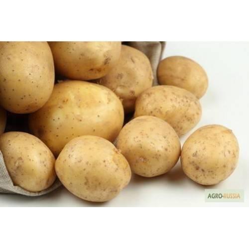 Рокко: описание семенного сорта картофеля, характеристики, агротехника