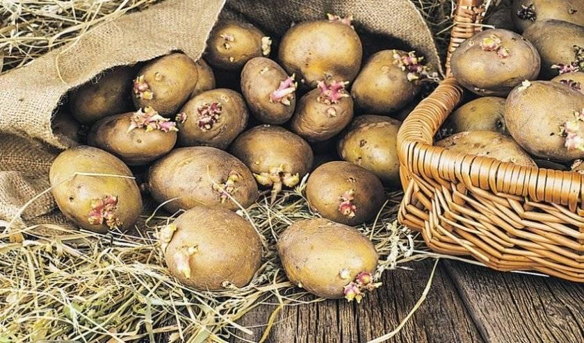 Пошаговая инструкция выращивания картофеля