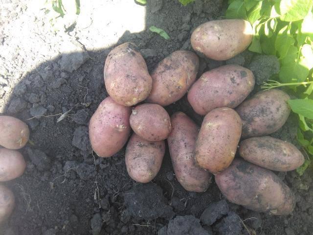 Лучшие сорта картофеля для средней полосы россии, урала и поволжья