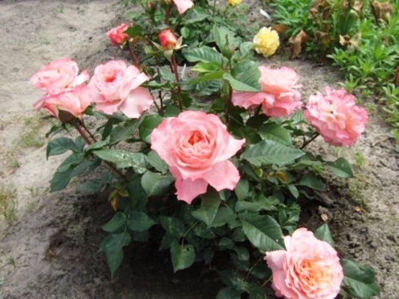 Парковая роза луис одьер: фото, отзывы, описание и выращивание сорта